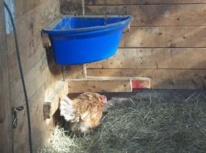 One hen finds a pool of sunshine