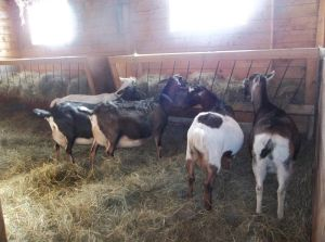 The girls doing what they do all day: eat hay